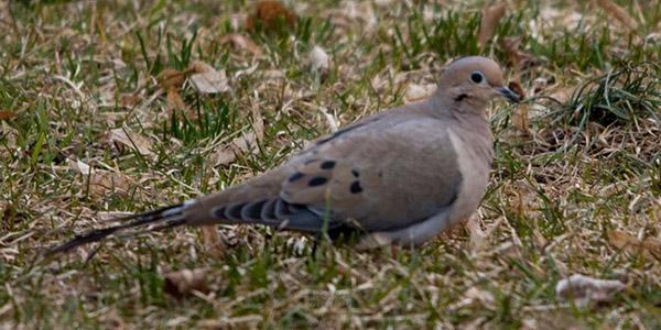 dove-gravel
