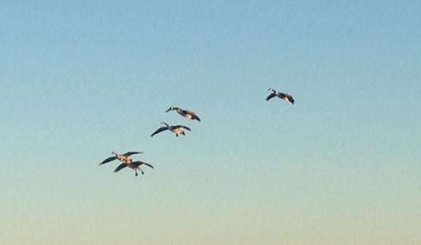goose-3