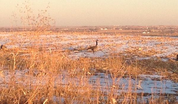 goose-4