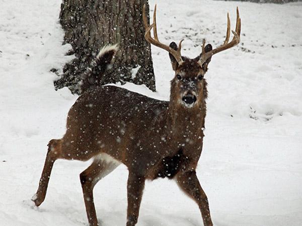 whitetail-deer