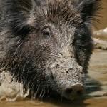 hog-hunting-thumb