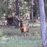 Elk-Thumb