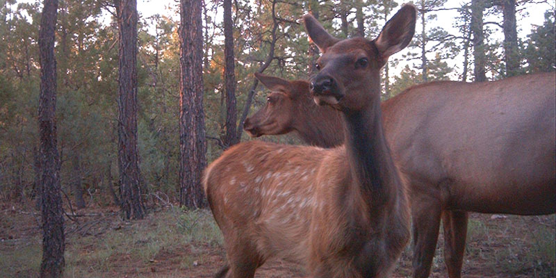 Elk-Profile-5