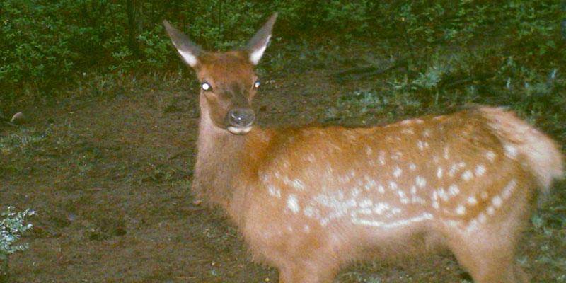 Elk-Profile-7