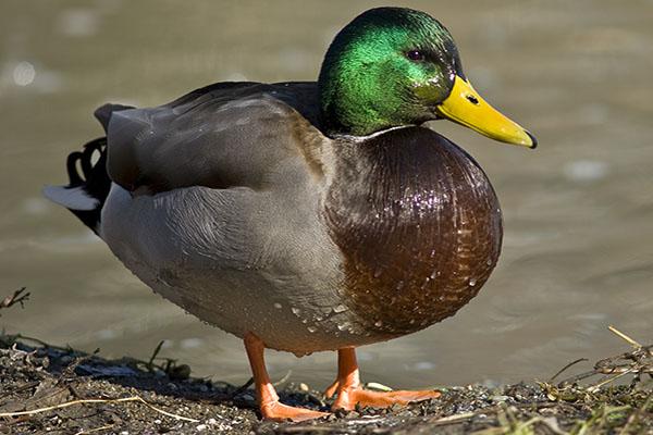 Dabbling-Ducks-Thumb