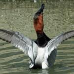 Diving-Ducks-Thumb
