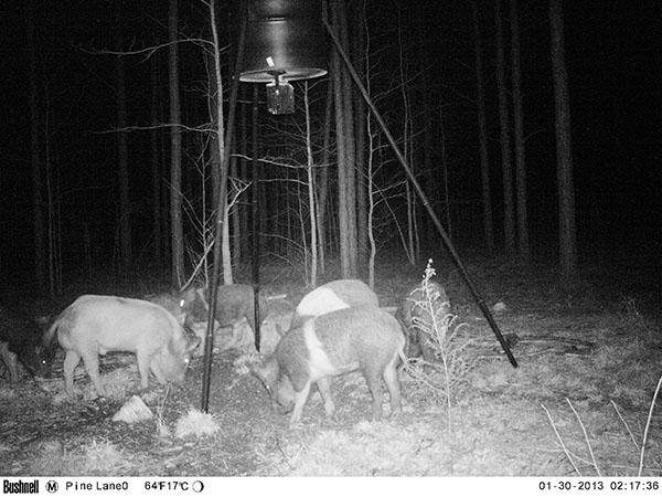 feral-hogs-5