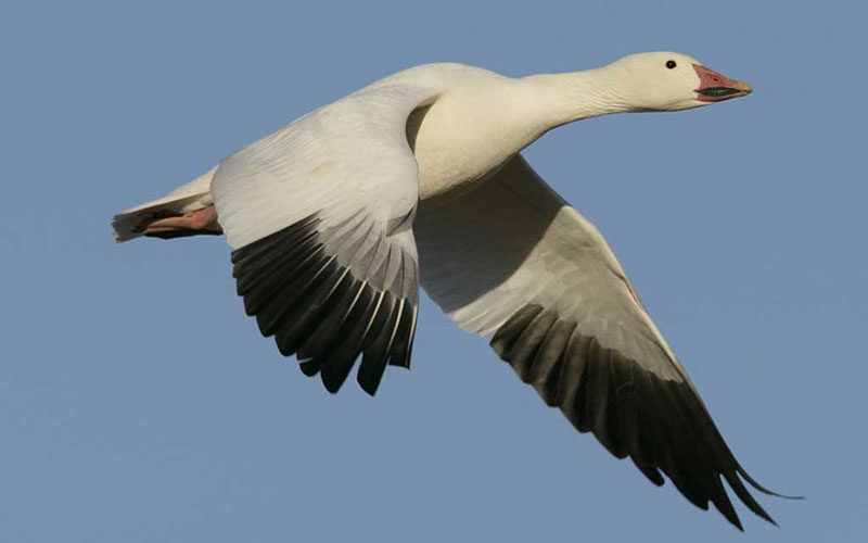 IMAGE2GreaterSnowGoose