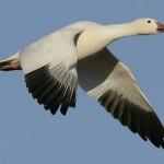 THUMB-snow-goose
