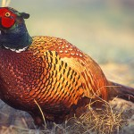 common-pheasant-thumb