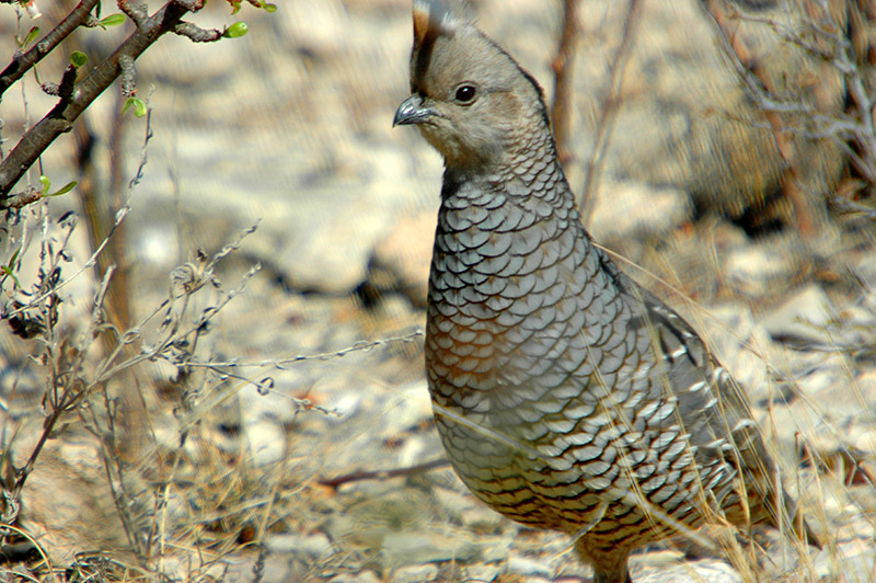 IMAGE3ScaledQuail