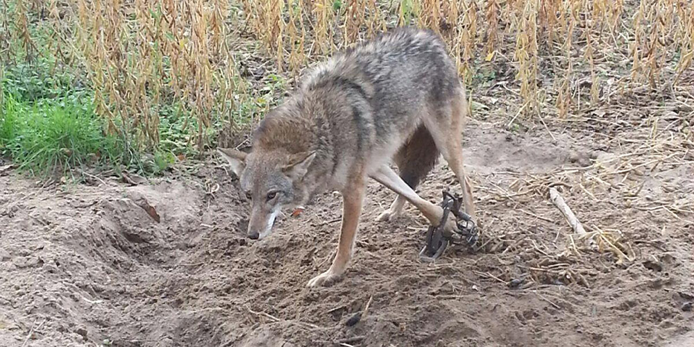 How To Trap Coyotes The Blog Of The 1800gunsandammo Store