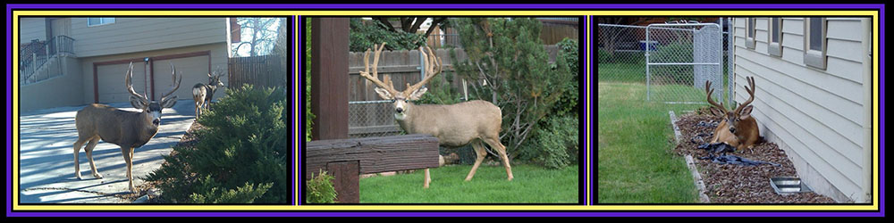 mule-deer-profile-4