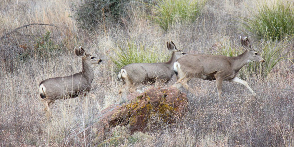 mule-deer-profile-9