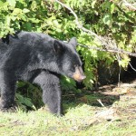 black-bear-thumb