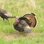 merriams-turkey-thumb
