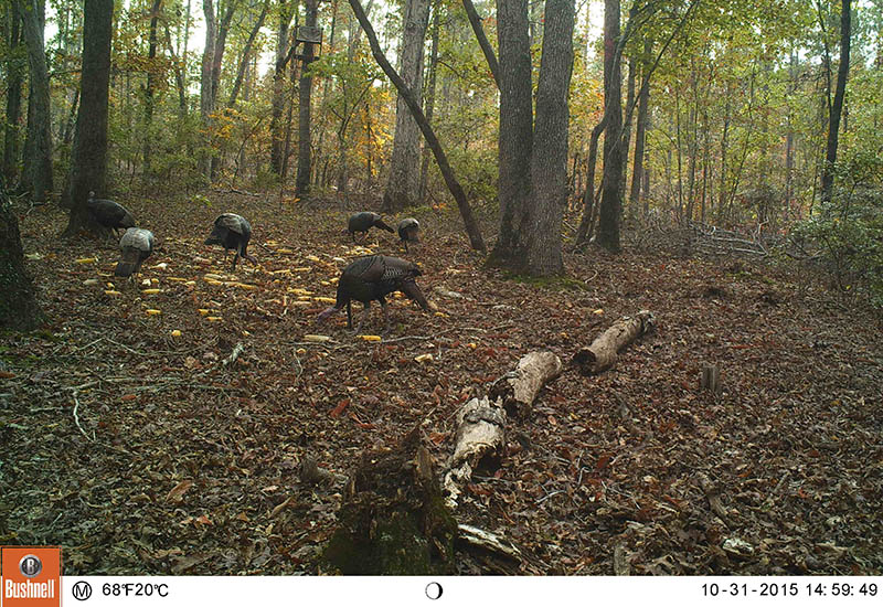 scouting-turkeys-1