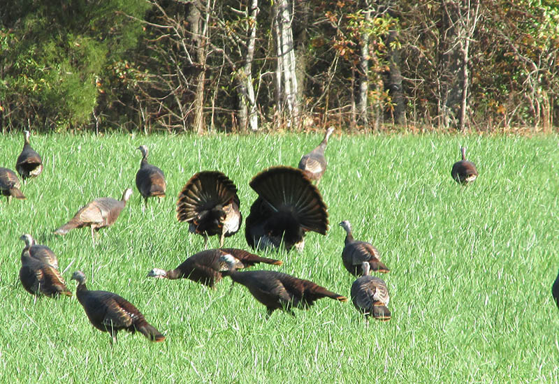 scouting-turkeys-4