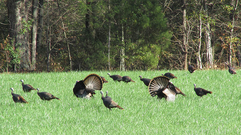 scouting-turkeys-5