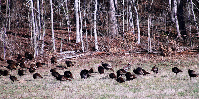 scouting-turkeys-6