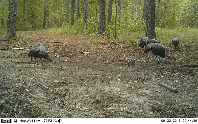 scouting-turkeys-7