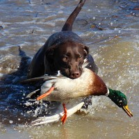 ducks-and-dogs-thumb