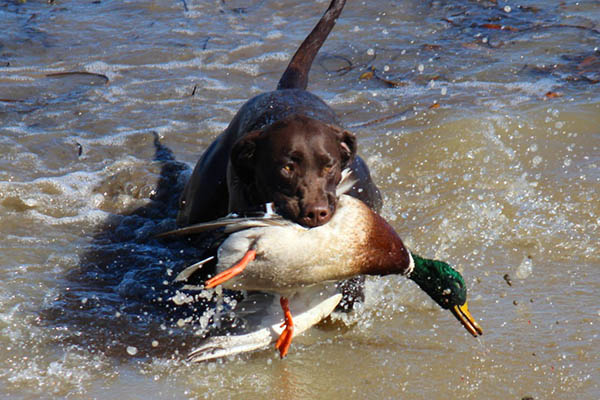 Ducks & Dogs