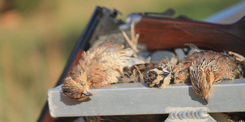 southern-quail-6